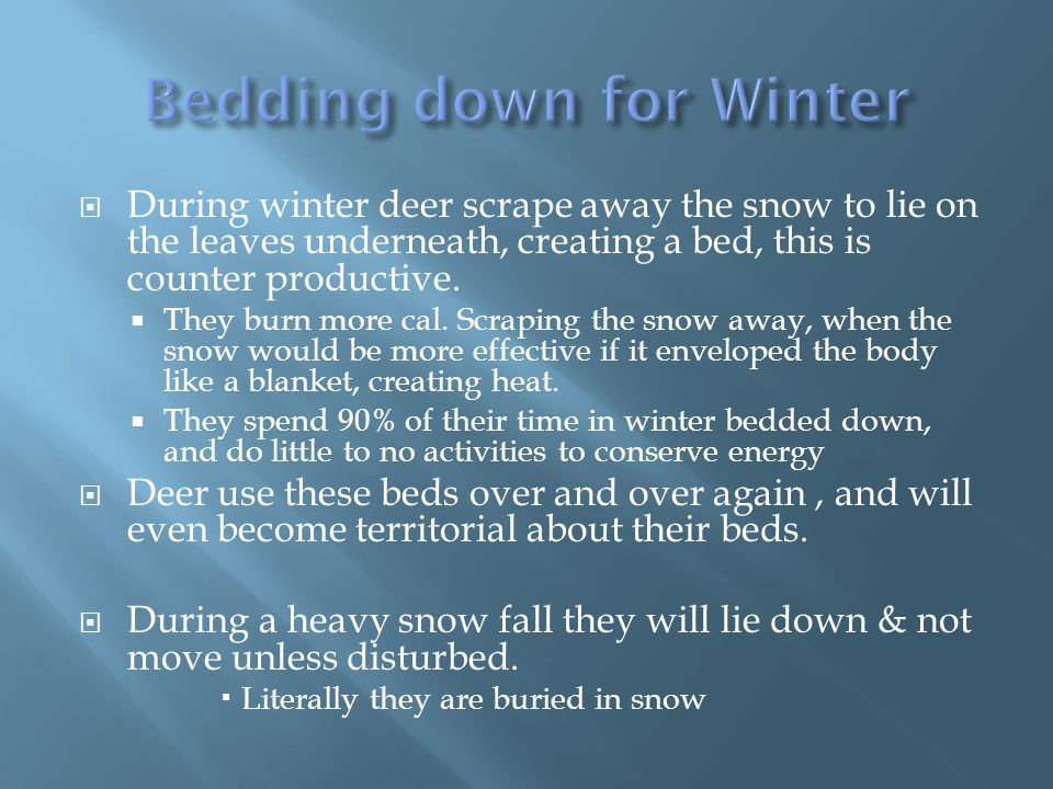  During winter deer scrape away the snow to lie on the leaves underneath, creating a bed, this is counter productive.