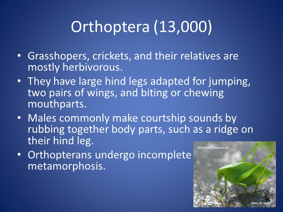 Orthoptera (13,000) Grasshopers, crickets, and their relatives are mostly herbivorous.