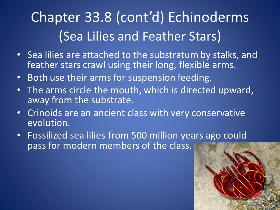 Chapter 33.8 (cont'd) Echinoderms ( Sea Lilies and Feather Stars ) Sea lilies are attached to the substratum by stalks, and feather stars crawl using their long, flexible arms.