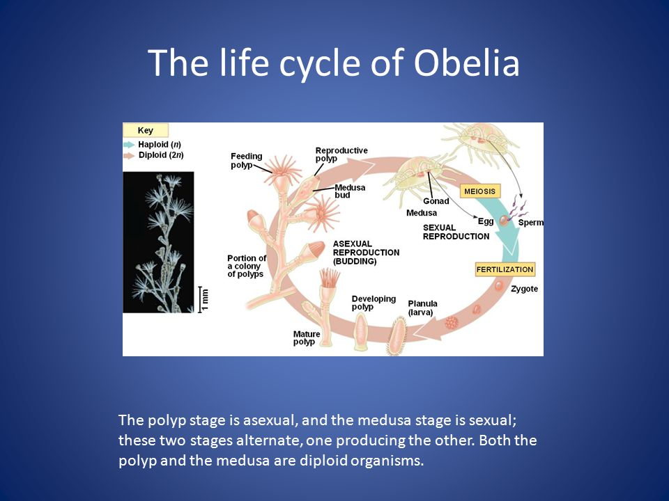 The life cycle of Obelia The polyp stage is asexual, and the medusa stage is sexual; these two stages alternate, one producing the other.