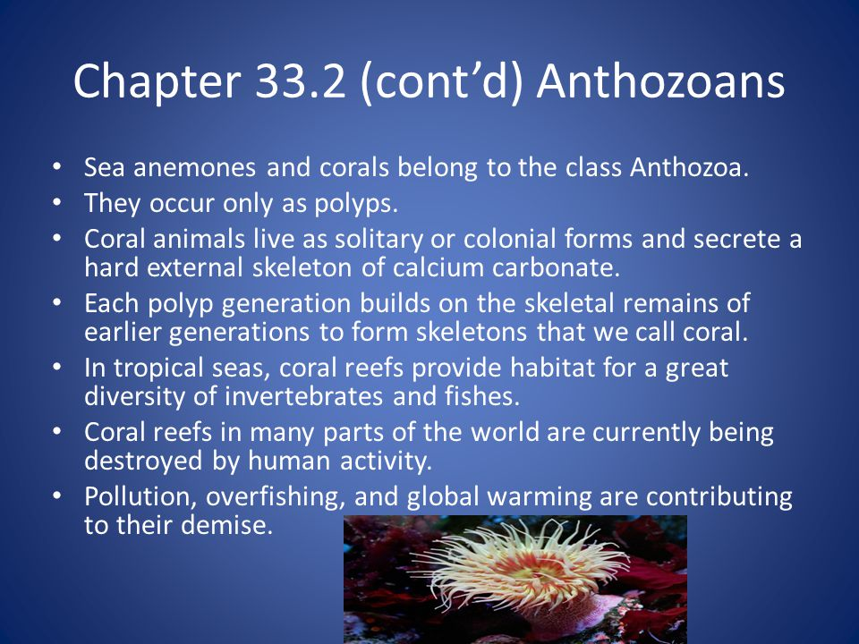 Chapter 33.2 (cont'd) Anthozoans Sea anemones and corals belong to the class Anthozoa.