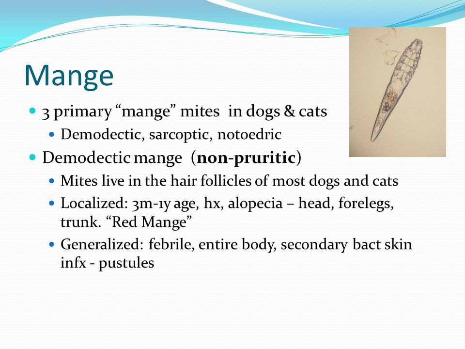 "Mange 3 primary ""mange"" mites in dogs & cats Demodectic, sarcoptic, notoedric Demodectic mange (non-pruritic) Mites live in the hair follicles of most"