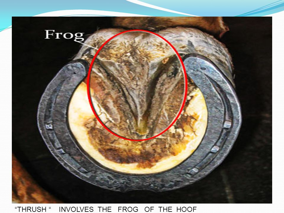 """THRUSH "" INVOLVES THE FROG OF THE HOOF"