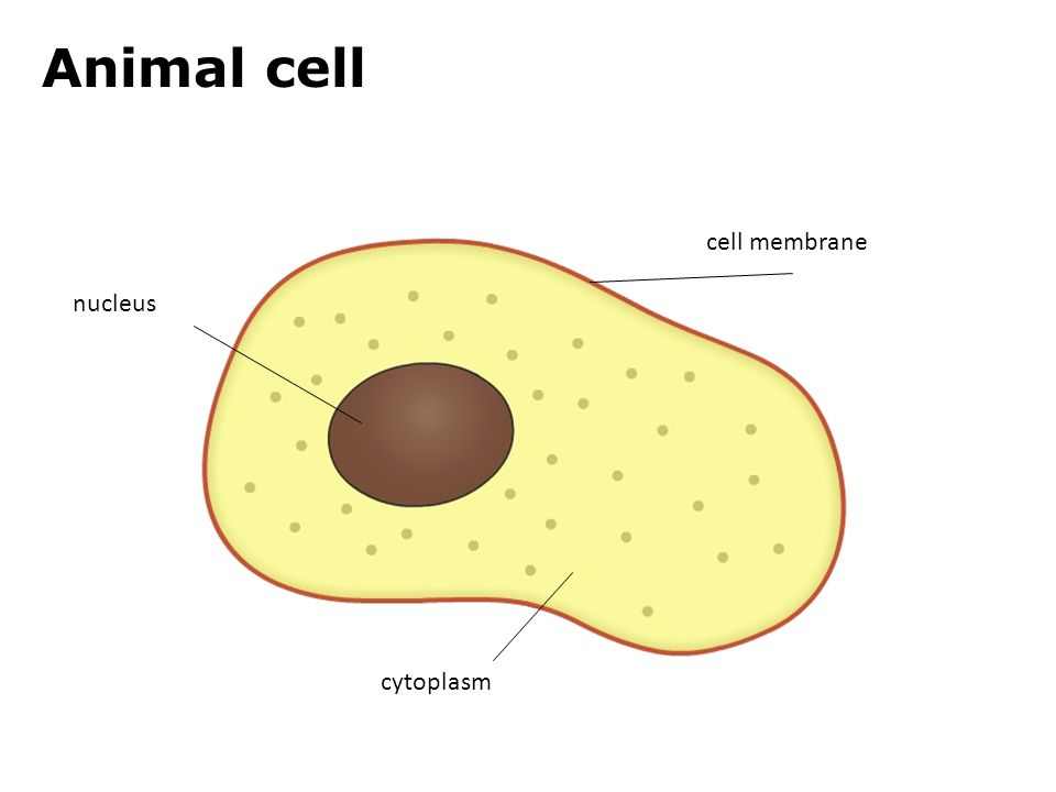 1.2a Plant or animal cell? Animal cell cell membrane cytoplasm nucleus