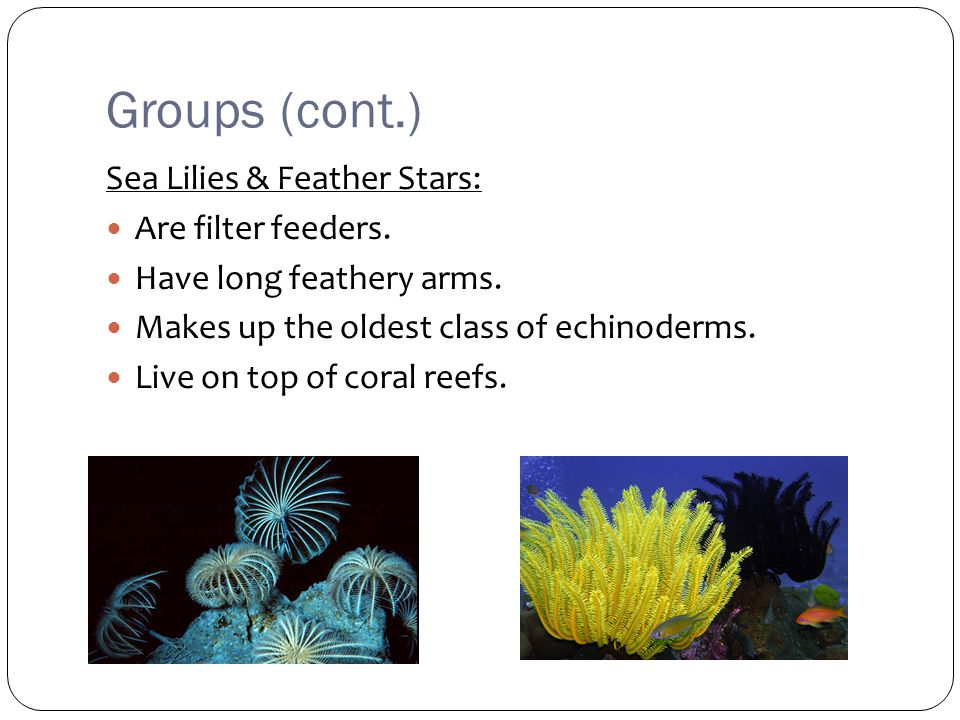 Groups (cont.) Sea Lilies & Feather Stars: Are filter feeders.
