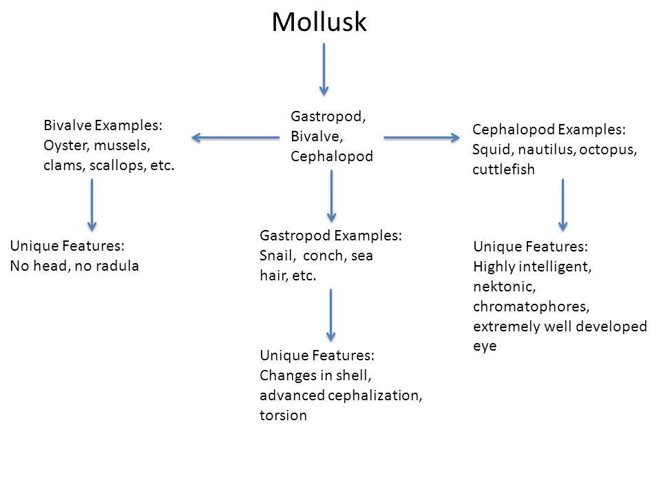 Mollusk Gastropod, Bivalve, Cephalopod Gastropod Examples: Snail, conch, sea hair, etc.