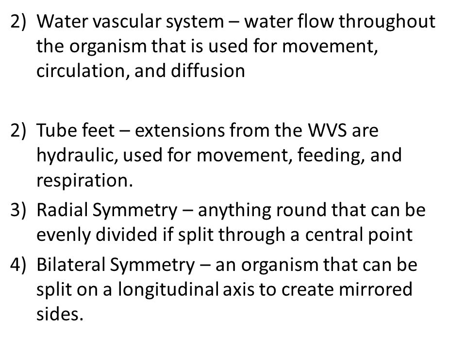 2)Water vascular system – water flow throughout the organism that is used for movement, circulation, and diffusion 2)Tube feet – extensions from the WVS are hydraulic, used for movement, feeding, and respiration.