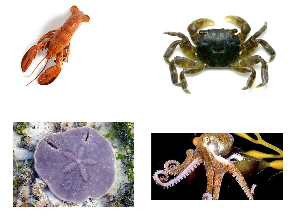 6)Asymmetry – an organism that cannot be evenly divided 7)Endoskeleton – calcium carbonate (CaCO 3 ) skeleton found on the inside of the body (echinoderms) 8)Radial ring & canal – located in the central ring & on each arm used to control the WVS