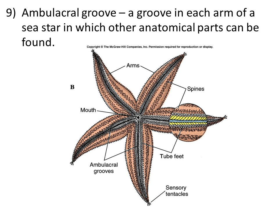 9)Ambulacral groove – a groove in each arm of a sea star in which other anatomical parts can be found.