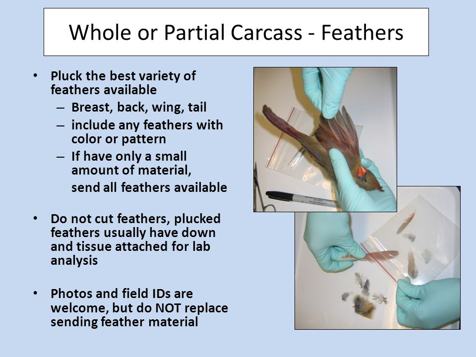 Whole or Partial Carcass - Feathers Pluck the best variety of feathers available – Breast, back, wing, tail – include any feathers with color or pattern – If have only a small amount of material, send all feathers available Do not cut feathers, plucked feathers usually have down and tissue attached for lab analysis Photos and field IDs are welcome, but do NOT replace sending feather material