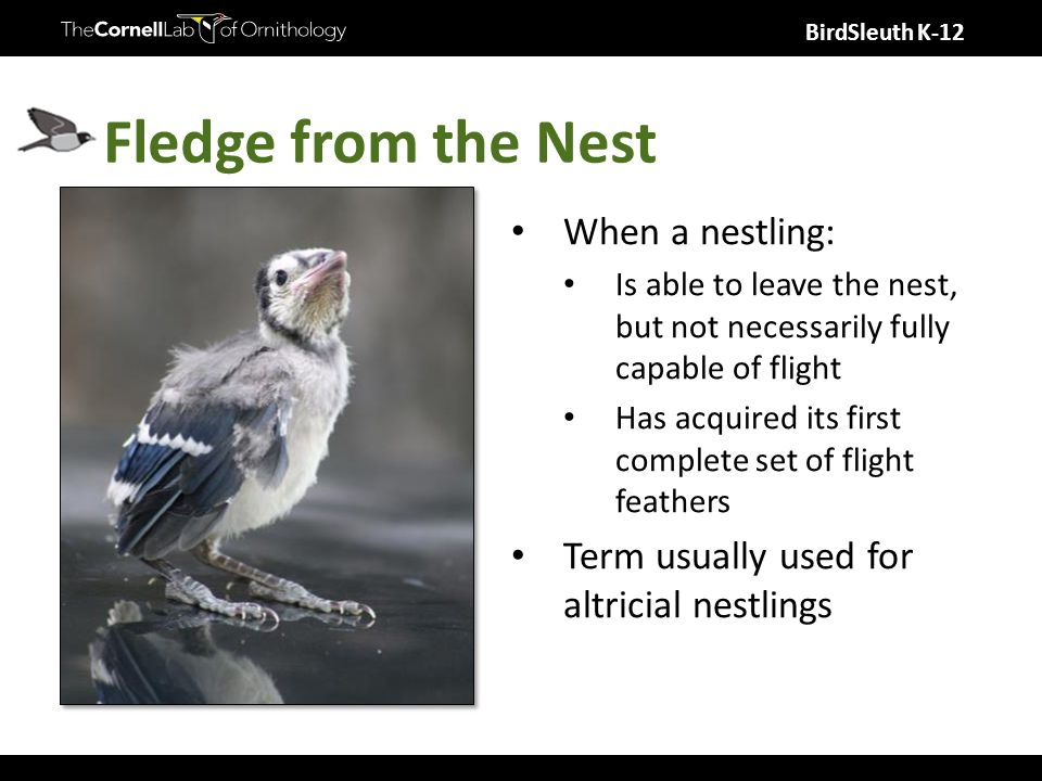 BirdSleuth K-12 Fledge from the Nest When a nestling: Is able to leave the nest, but not necessarily fully capable of flight Has acquired its first complete set of flight feathers Term usually used for altricial nestlings
