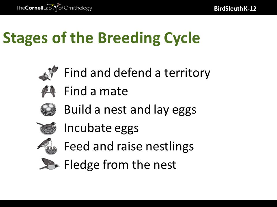 BirdSleuth K-12 Stages of the Breeding Cycle Find and defend a territory Find a mate Build a nest and lay eggs Incubate eggs Feed and raise nestlings Fledge from the nest