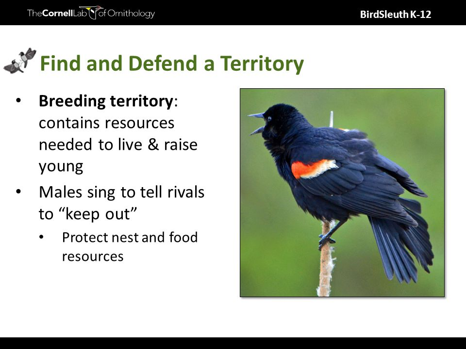 BirdSleuth K-12 Find and Defend a Territory Breeding territory: contains resources needed to live & raise young Males sing to tell rivals to keep out Protect nest and food resources