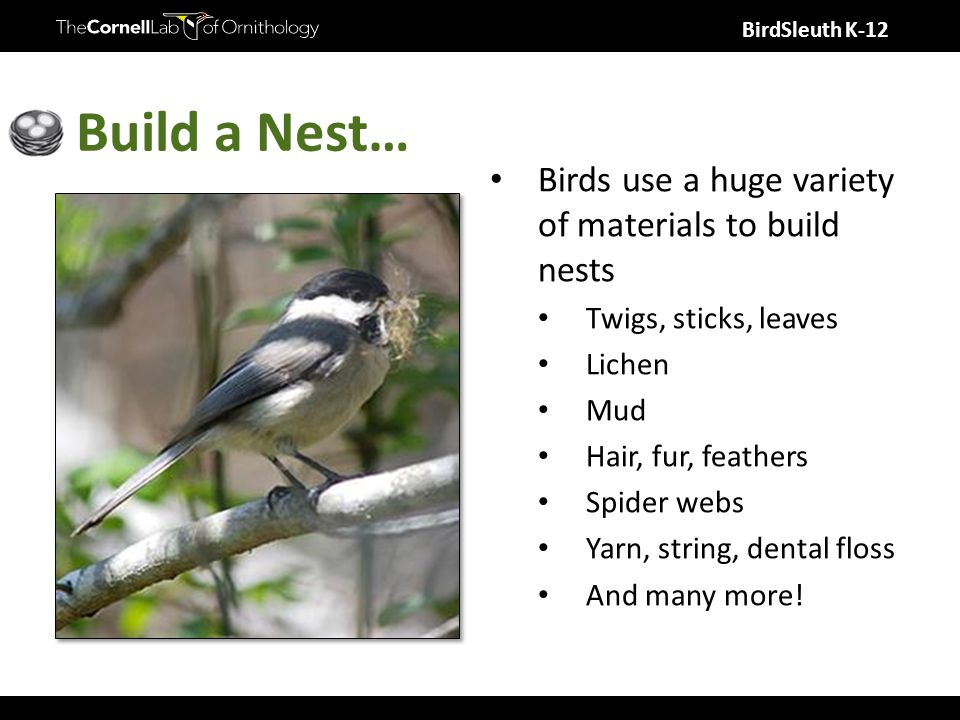 BirdSleuth K-12 Build a Nest… Birds use a huge variety of materials to build nests Twigs, sticks, leaves Lichen Mud Hair, fur, feathers Spider webs Ya
