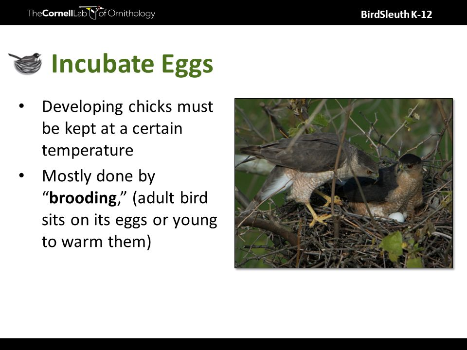 Incubate Eggs Developing chicks must be kept at a certain temperature Mostly done by brooding, (adult bird sits on its eggs or young to warm them)