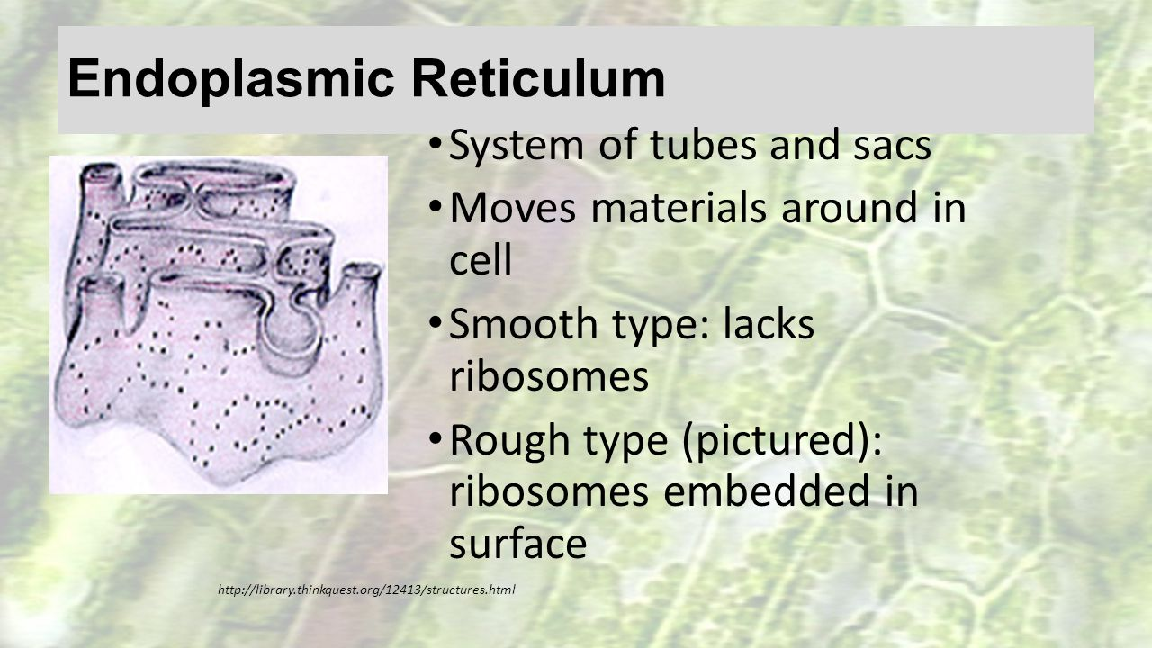 Endoplasmic Reticulum System of tubes and sacs Moves materials around in cell Smooth type: lacks ribosomes Rough type (pictured): ribosomes embedded i