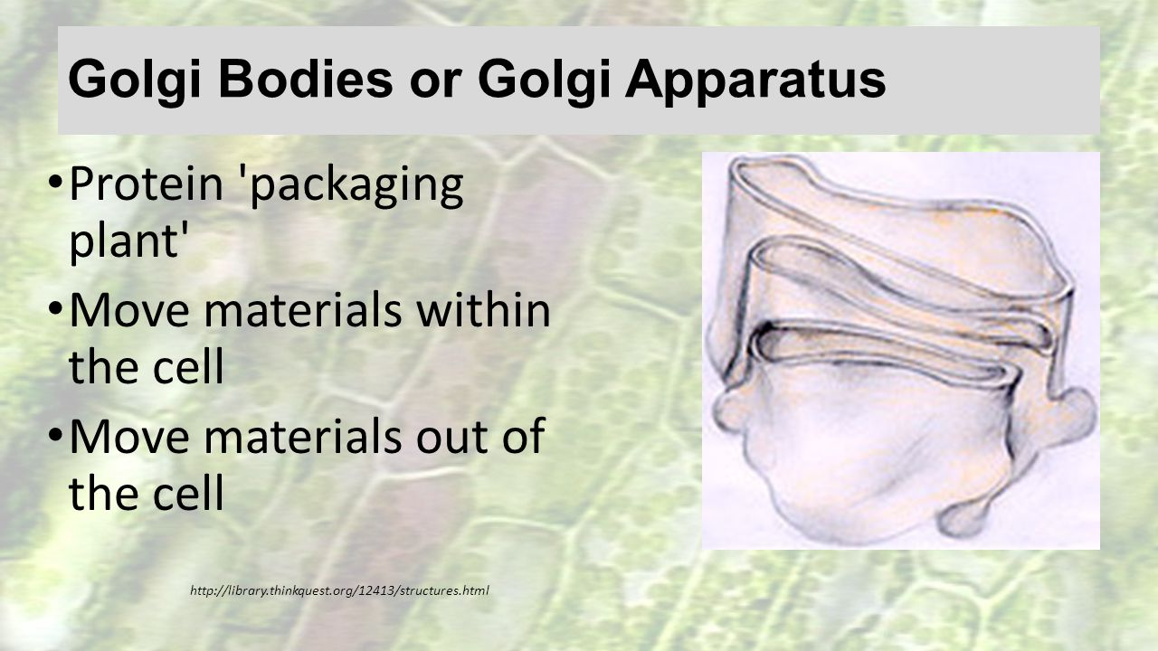 Golgi Bodies or Golgi Apparatus Protein 'packaging plant' Move materials within the cell Move materials out of the cell http://library.thinkquest.org/