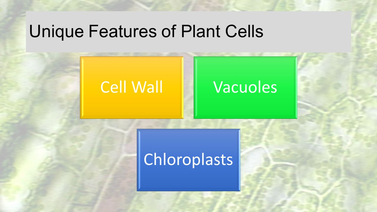 Unique Features of Plant Cells Cell WallVacuoles Chloroplasts