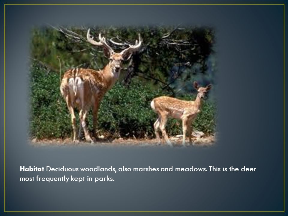 Habitat Deciduous woodlands, also marshes and meadows. This is the deer most frequently kept in parks.