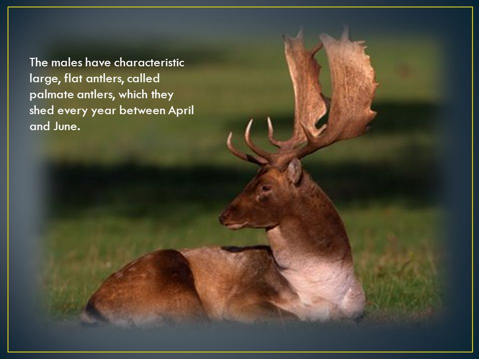 The males have characteristic large, flat antlers, called palmate antlers, which they shed every year between April and June.