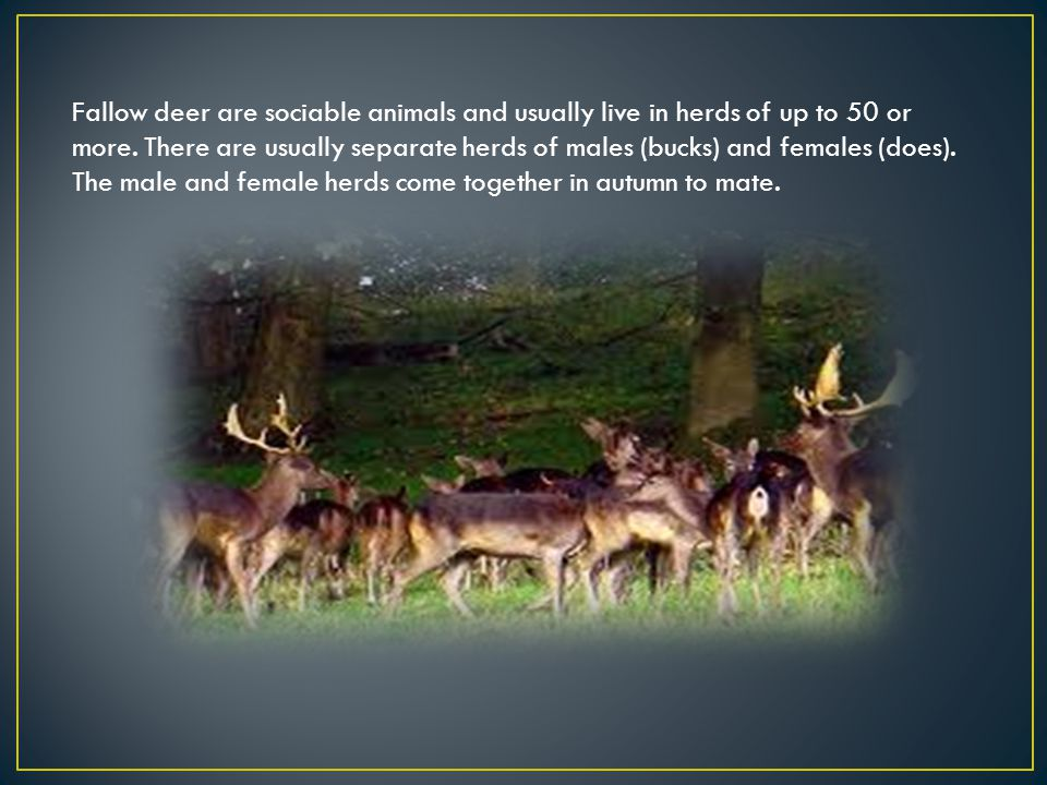 Fallow deer are sociable animals and usually live in herds of up to 50 or more. There are usually separate herds of males (bucks) and females (does).