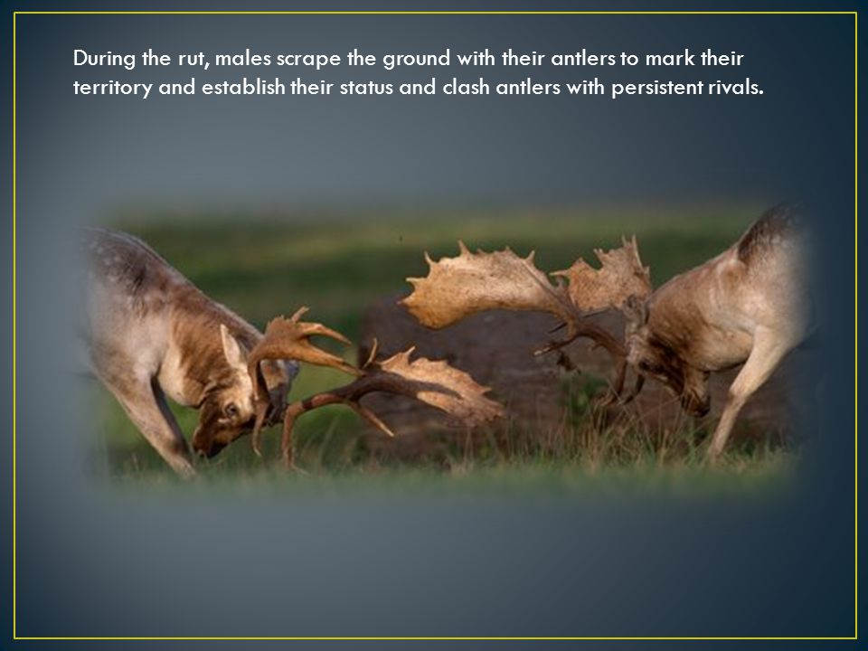During the rut, males scrape the ground with their antlers to mark their territory and establish their status and clash antlers with persistent rivals.