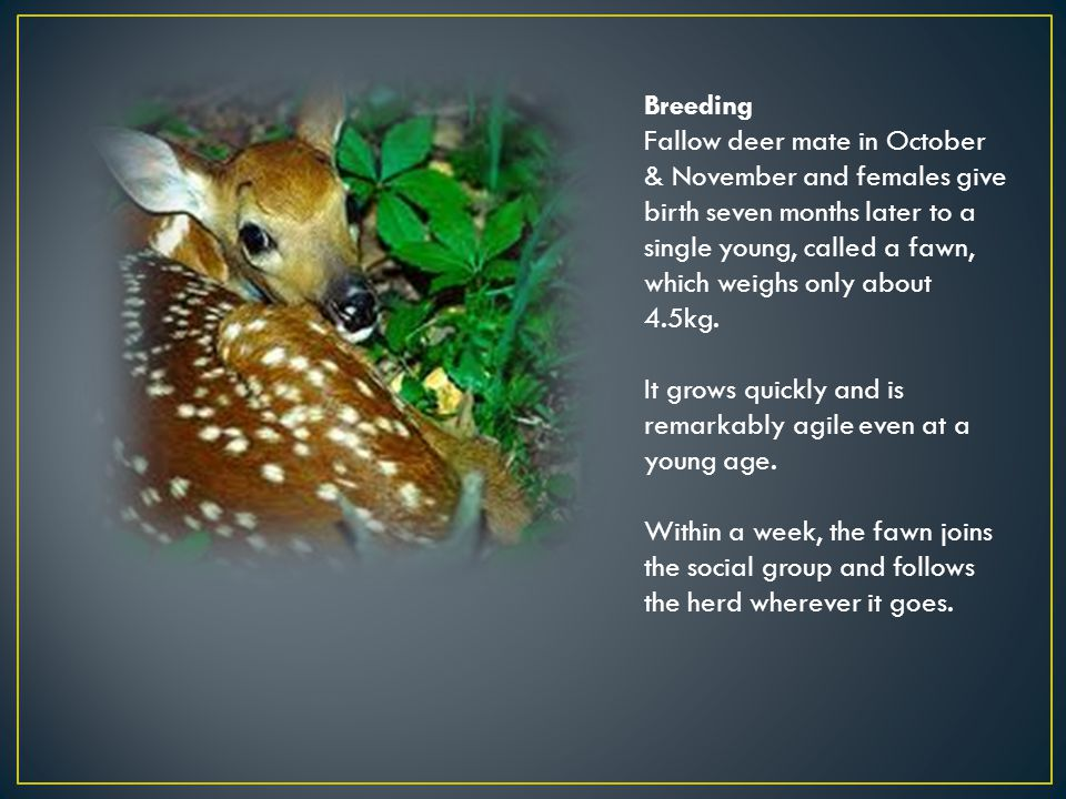Breeding Fallow deer mate in October & November and females give birth seven months later to a single young, called a fawn, which weighs only about 4.5kg.
