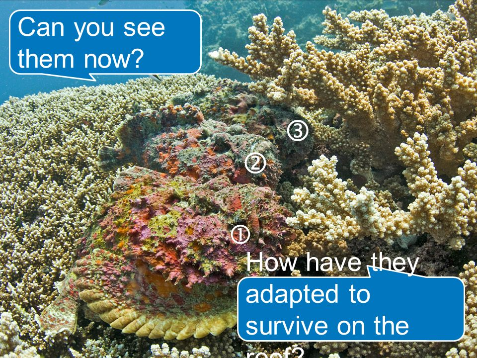 Can you see them now    How have they adapted to survive on the reef