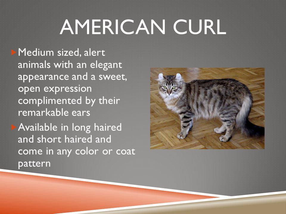 AMERICAN CURL  Medium sized, alert animals with an elegant appearance and a sweet, open expression complimented by their remarkable ears  Available in long haired and short haired and come in any color or coat pattern