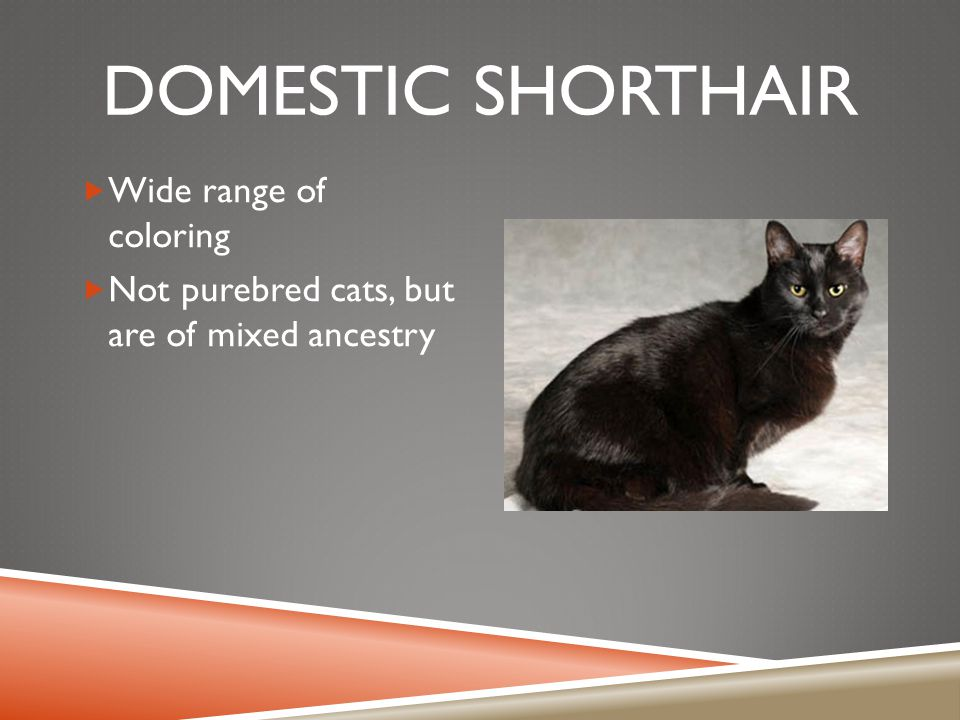 DOMESTIC SHORTHAIR  Wide range of coloring  Not purebred cats, but are of mixed ancestry