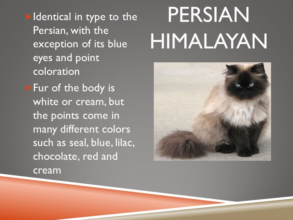 PERSIAN HIMALAYAN  Identical in type to the Persian, with the exception of its blue eyes and point coloration  Fur of the body is white or cream, but the points come in many different colors such as seal, blue, lilac, chocolate, red and cream
