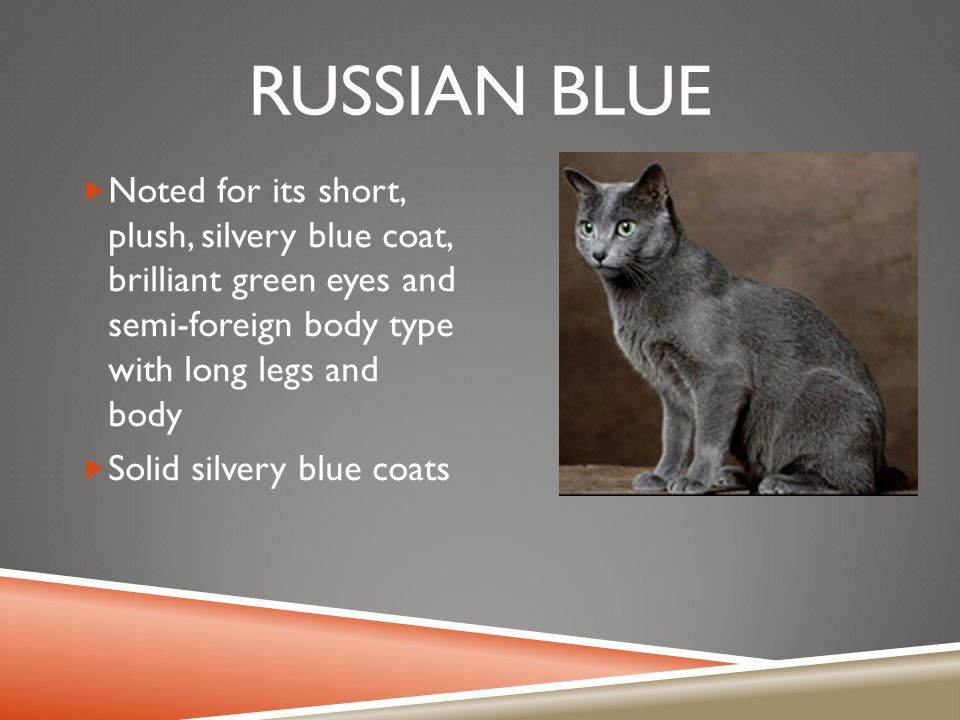 RUSSIAN BLUE  Noted for its short, plush, silvery blue coat, brilliant green eyes and semi-foreign body type with long legs and body  Solid silvery blue coats