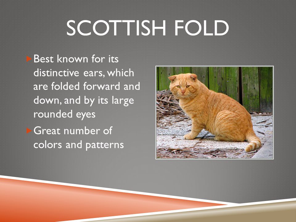 SCOTTISH FOLD  Best known for its distinctive ears, which are folded forward and down, and by its large rounded eyes  Great number of colors and patterns