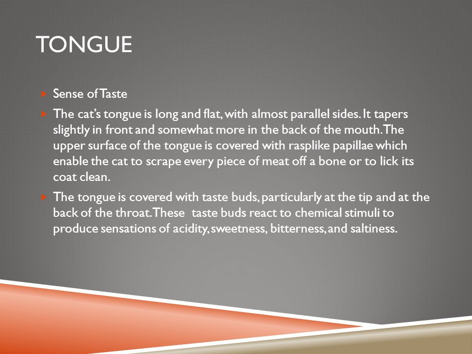 TONGUE  Sense of Taste  The cat's tongue is long and flat, with almost parallel sides.