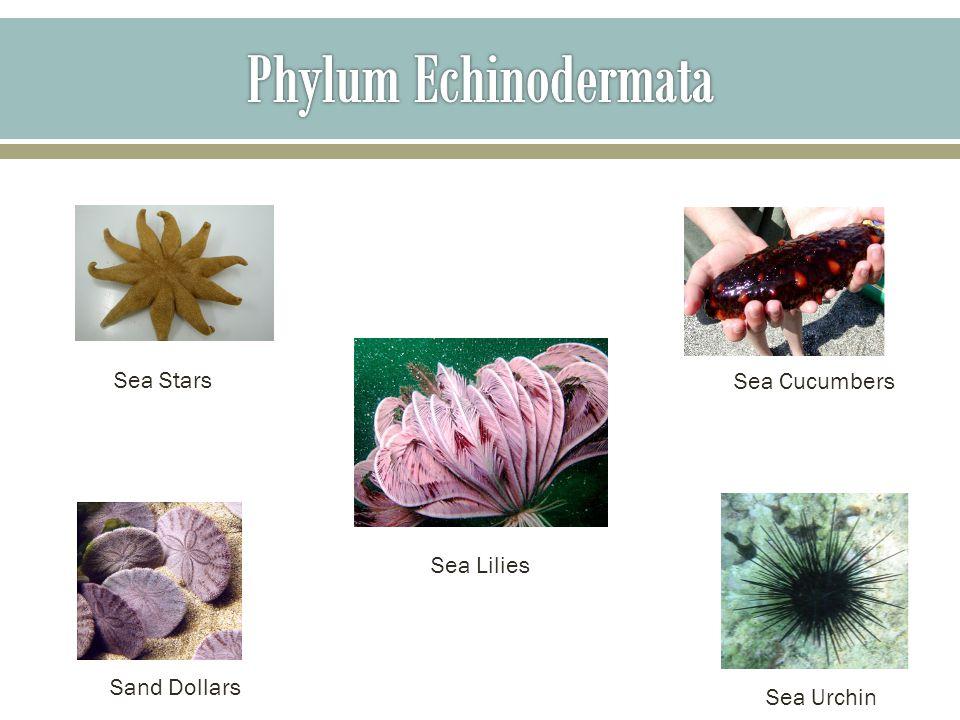 Sea Stars Sea Lilies Sand Dollars Sea Cucumbers Sea Urchin