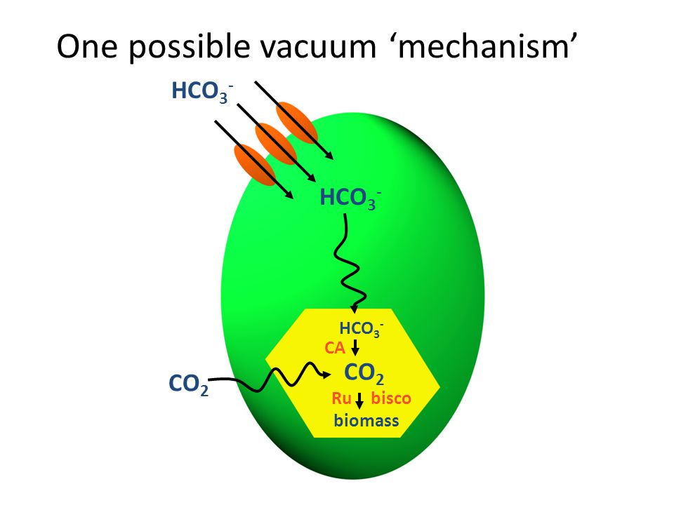 One possible vacuum 'mechanism' HCO 3 - CO 2 biomass CA Rubisco CO 2
