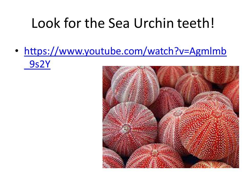Look for the Sea Urchin teeth! https://www.youtube.com/watch?v=Agmlmb _9s2Y https://www.youtube.com/watch?v=Agmlmb _9s2Y