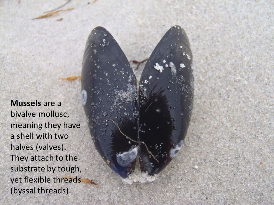Mussels are a bivalve mollusc, meaning they have a shell with two halves (valves).