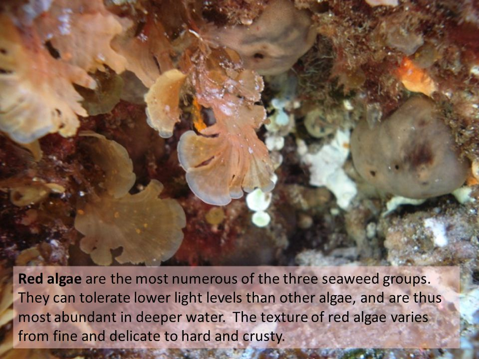 Red algae are the most numerous of the three seaweed groups.