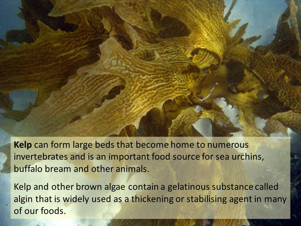 Kelp can form large beds that become home to numerous invertebrates and is an important food source for sea urchins, buffalo bream and other animals.