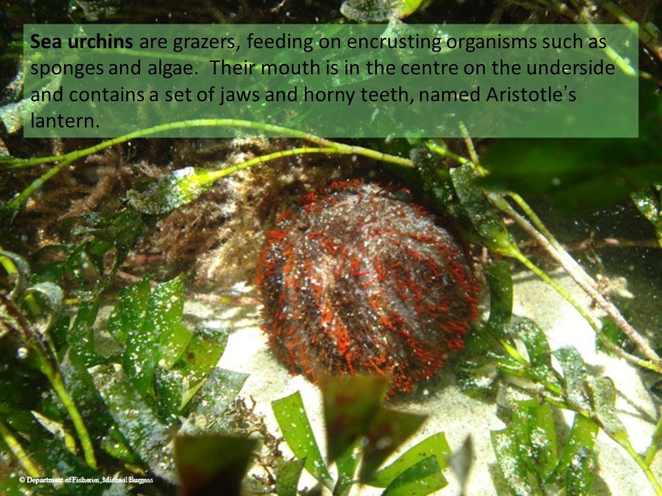 Sea urchins are grazers, feeding on encrusting organisms such as sponges and algae.