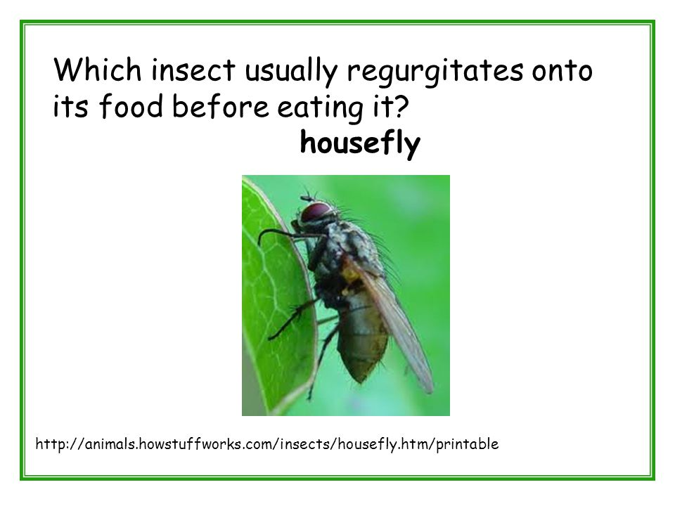 Which insect usually regurgitates onto its food before eating it? housefly http://animals.howstuffworks.com/insects/housefly.htm/printable