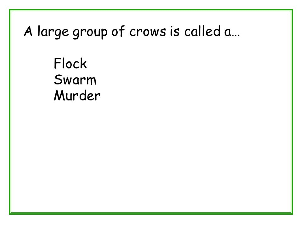 A large group of crows is called a… Flock Swarm Murder