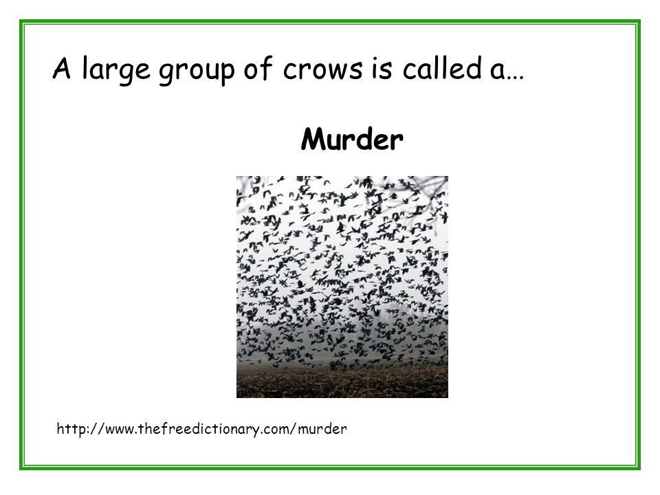 A large group of crows is called a… Murder http://www.thefreedictionary.com/murder