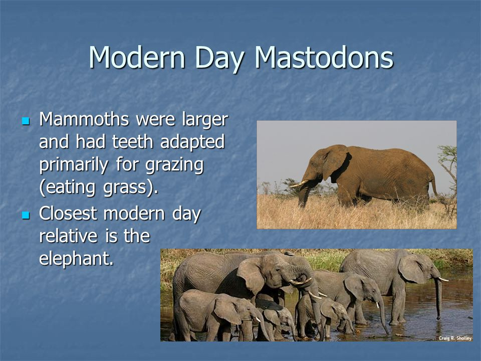 Modern Day Mastodons Mammoths were larger and had teeth adapted primarily for grazing (eating grass).