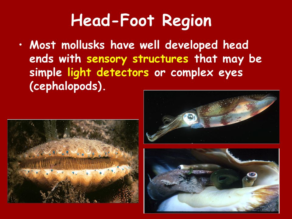 Head-Foot Region Most mollusks have well developed head ends with sensory structures that may be simple light detectors or complex eyes (cephalopods).