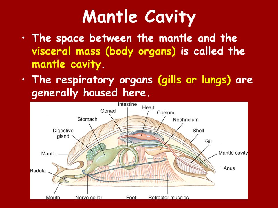 Mantle Cavity The space between the mantle and the visceral mass (body organs) is called the mantle cavity.