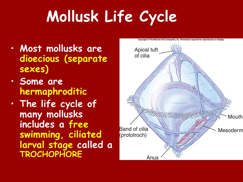 Mollusk Life Cycle Most mollusks are dioecious (separate sexes) Some are hermaphroditic The life cycle of many mollusks includes a free swimming, ciliated larval stage called a TROCHOPHORE