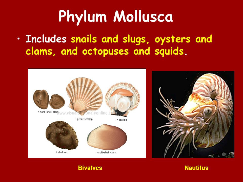 Phylum Mollusca Includes snails and slugs, oysters and clams, and octopuses and squids.