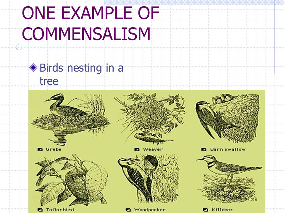 ONE EXAMPLE OF COMMENSALISM Birds nesting in a tree